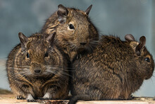Group Octodon Degus Degu Rodent Animal Portrait