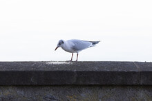 A Mediterranean Seagull Is Standing On A Black Wall, The Bird Is Looking Enthusiastically At Its Food, It Should Hurry Up With Eating Before Another Seagull Takes It Away From It