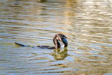 Cormorant Eating A Fish