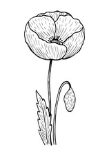 Poppy With Stem And Leaves Isolated On White Background. Vector Hand-drawn Illustration In Line Art Style. Perfect For Your Projects, Cards, Invitations, Print, Decor, Patterns, Packaging Design.