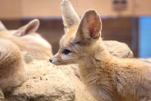 フェネックギツネ動物野生生物写真動物園横顔