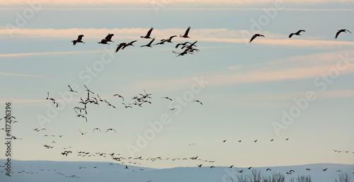 Fototapeta premium Flock of cranes flying against cloudy sky, spring migration
