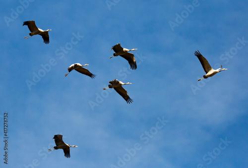 Fototapeta premium Birds in flight. Flock of cranes returning from warm lands in blue spring sky..