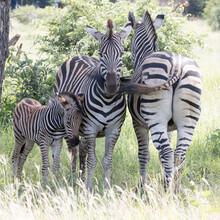 Kruger National Park: Zebra Family