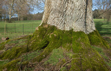 Green Moss (Bryophyta) Growing On The Roots And Trunk  Of An Ancient Beech Tree (Fagus Sylvatica) On A Bright Sunny Winter Day In Parkland In Rural Devon, England, UK