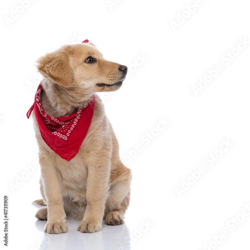 adorable labrador retriever dog wearing red bandana and looking to side © Viorel Sima
