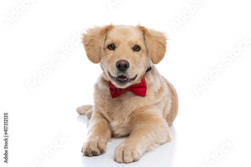lovely golden retriever dog wearing red bowtie © Viorel Sima