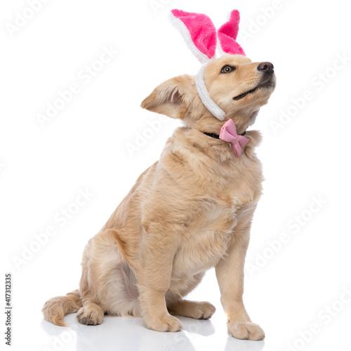adorable golden retriever dog wearing bunny ears and bowtie © Viorel Sima