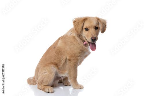 side view of labrador retriever puppy sticking out tongue © Viorel Sima