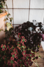 Indoor Red And Green Plant