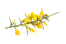 Fresh Yellow Gorse In Flower Isolated On White Background. Ulex Europaeus
