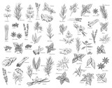 Spices, cooking herbs and seasonings sketch vectors set. Bay leaves, peppermint and sage, cinnamon and ginger, black pepper, cardamon and cloves, basil, oregano and arugula, dill, cilantro and anise