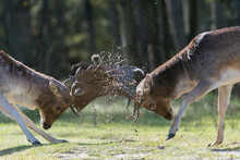 She's Mine! No She's Mine! Let's Fight For It! Who Will Win? A Fight Between Two Fallow Deer During Rutting Season, Photographed In The Netherlands.