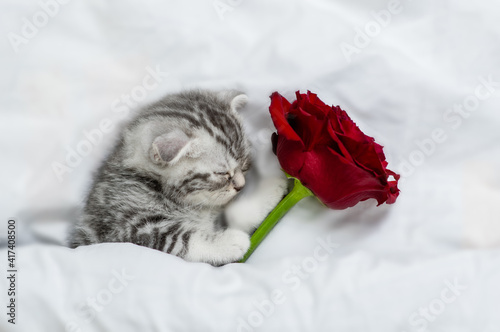 Sleepy kitten holds red rose on a white bed. Valentines day concept © Ermolaev Alexandr