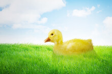 Close Up Of Little Yellow Duckling In Green Grass