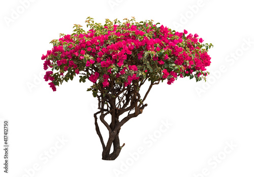 Fotografia Bougainvilleas tree isolated on white background with clipping path