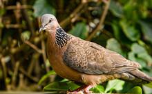 Spotted Dove (Streptopelia Chinensis ) In Princeville, Kauai, Hawaii