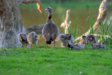 Mother Egyptian Goose With Little Ones At Amsterdam The Netherlands 26-6-2020