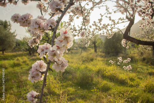 Closeup of branches of blooming almond tree Wallpaper Mural