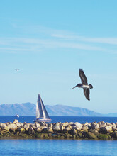 Pelicans Flying Over The Water And A Sailboat Behind The Breakwater Seawall Rocks Of The Santa Barbara Pacific Ocean Harbor On New Year's Day Of 2021