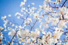 Splendid Lush Magnolia Flowers In Sunlight Against Blue Sky.