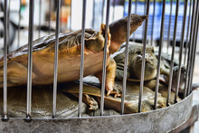 Abhua, Indian Flap-shelled Turtles (Lissemys Ptyodactylus, Lissemys Punctata) Turtles Are Sold In The Vietnamese Market (live Trading, Wet Market), And Turtle Soup Is A Delicacy In Southeast Asia