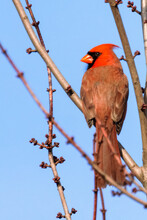 Male Northern Red Cardinal Perched On Bare Tree Branches In Winter