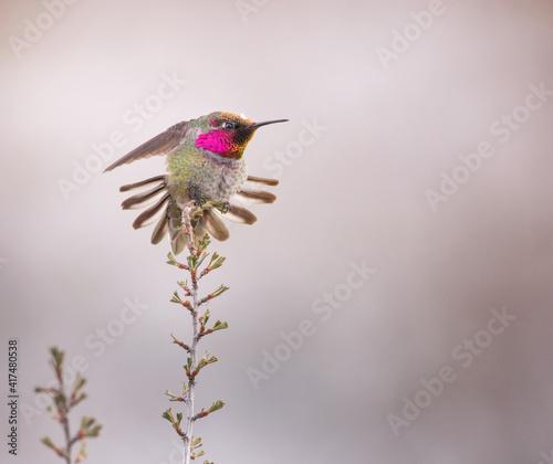 Fototapeta premium wintering male anna's hummingbird showing his display on a sagebrush plant