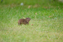 Cute Little Dassie, Rock Hyrax, Rock Rabbit Grazing On The Grass Stems Alongside The Road