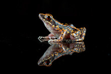 Spotted Stream Frog On A Black Background