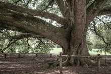 Large And Old Oak Tree