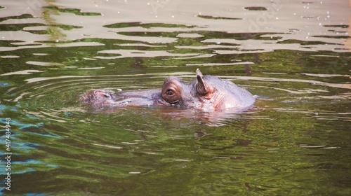 Hipopotam w wodzie, sama głowa. - fototapety na wymiar