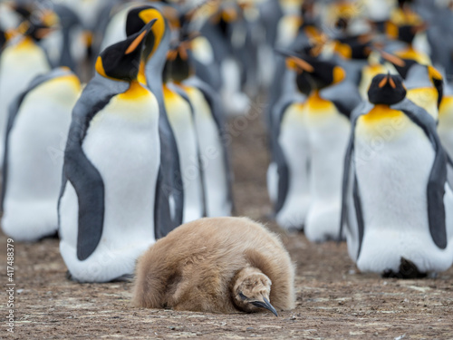 Fotografia, Obraz Chick in brown plumage. King Penguin on Falkland Islands.