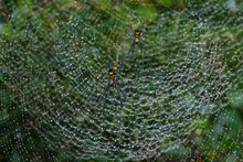 Golden Silk Orb-Weaver Web With The Encapsulated Rain Droplets