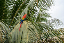 Puerto Miguel, Peru. Scarlet Macaw Perched In A Palm Tree.