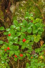USA, Alaska, Tongass National Forest, Anan Creek. Berries On Plants At Tree Base.