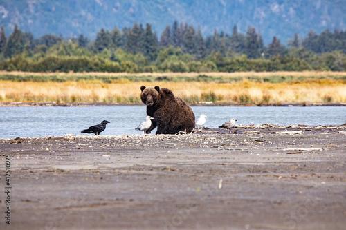 Fototapeta premium Cook Inlet, Alaska, wilderness, bears, low tide, raven, seagulls