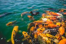 Black Duck, White Koi Fish And A Beautiful Large Group Of Orange Koi Fish At Lake