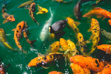 Black Duck, White Koi Fish And A Beautiful Large Group Of Orange Koi Fish At Lake