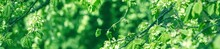 Fresh Leaves On Blurred Greenery Background. Natural Green Plants Panoramic Background