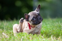 French Bulldog Puppy Scratching Its Ears In Grass