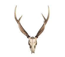 Head Deer Horn Skull
