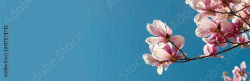Fototapeta Bannière d'une branche de fleurs roses de magnolia sur le bord droit, sur fond v
