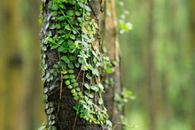 Parasitic Vine Wrapped Around Tree Trunk In Tropical Forest