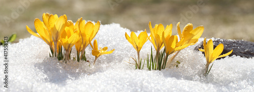 Fototapeta Spring flowers grow under the snow, a beautiful composition for Easter cards. Yellow crocuses in the sun rose after winter, beautiful primroses bloom on April day. obraz