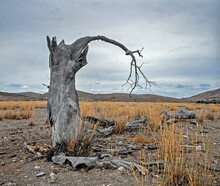 Lonely Death Tree In The Desert New Mexico.