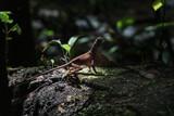 Fototapeta Zwierzęta - Brązowa jaszczurka na kamieniu, na tle deszczowego lasu.