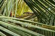 Wiewiórka na gałęzi palmy kokosowej.