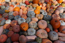 Harvest Of Pumpkins In Autumn