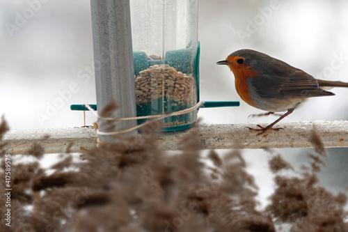 Obraz na plátně Robin redbreast with bird seed, feeding place on balcony.